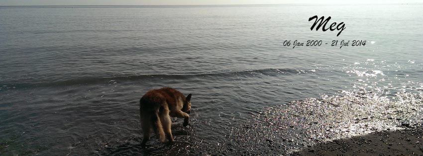 a photo of an old german shepherd on a beach at sunset
