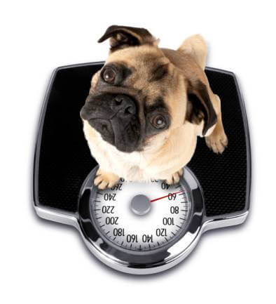 image of a fat dog on a weighing scales
