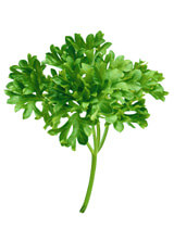 close up of some parsley
