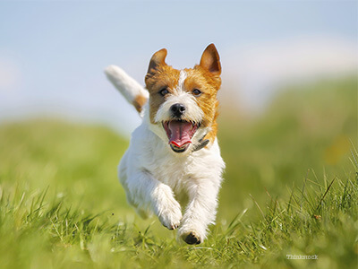 a healthy dog running through a field showing he's free of allergies in dogs