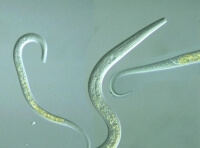 a photo of round worms in dogs
