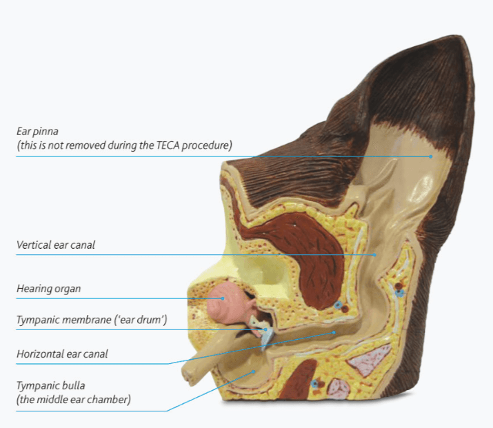 dog ear infections irritate the ear canal, shown in picutre