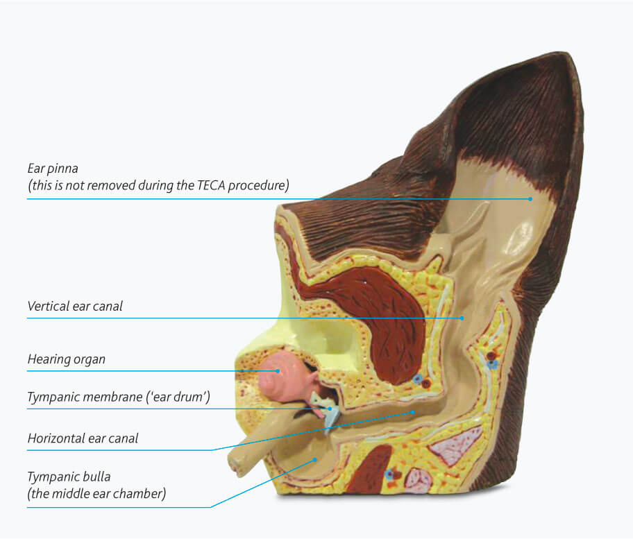 dog ear canal - Dogs First