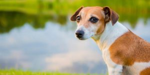 Figures Indciate Leptospirosis Vaccine (Nobivak L4) Kills More UK Dogs Than it Saves