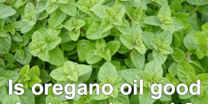 Oregano Oil for Kennel Cough