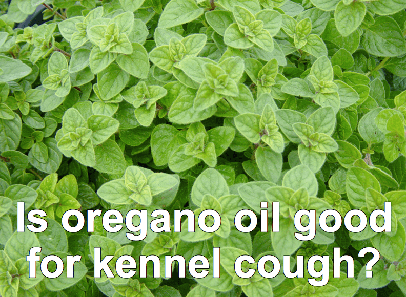oregano oil is great for kennel cough in dogs