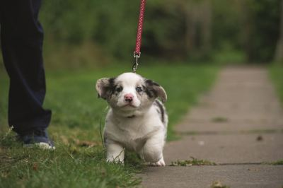 puppy on lead