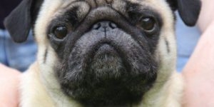 Vets are Taking Action Against the Rise in Brachycephalic (Short-Nosed) Breeds…