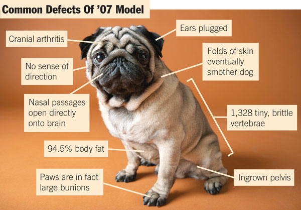 Vets are Taking Action Against the Rise in Brachycephalic (Short-Nosed) Breeds... Dogs First