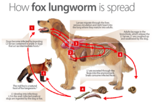 Lungworm in Dogs Dogs First