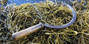 A Note on why you Should use Seaweed in Dogs, and When you Shouldn't…