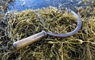 hand picked seaweed for dogs