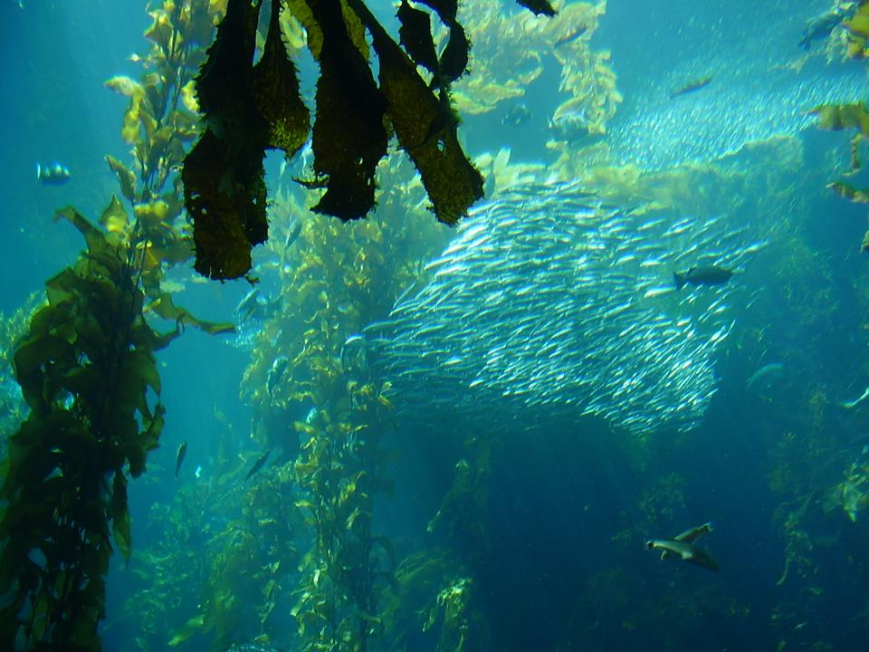 a kelp forest - kelp is used as seaweed for dogs