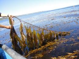 Seaweed For Dogs of all Types is a Very, Very Good Idea... Dogs First