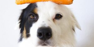 Why you might feed some vegetable matter to dogs…