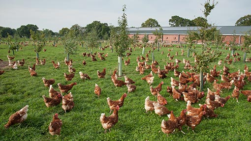 a flock of organic outdoor chicken feeding in grass