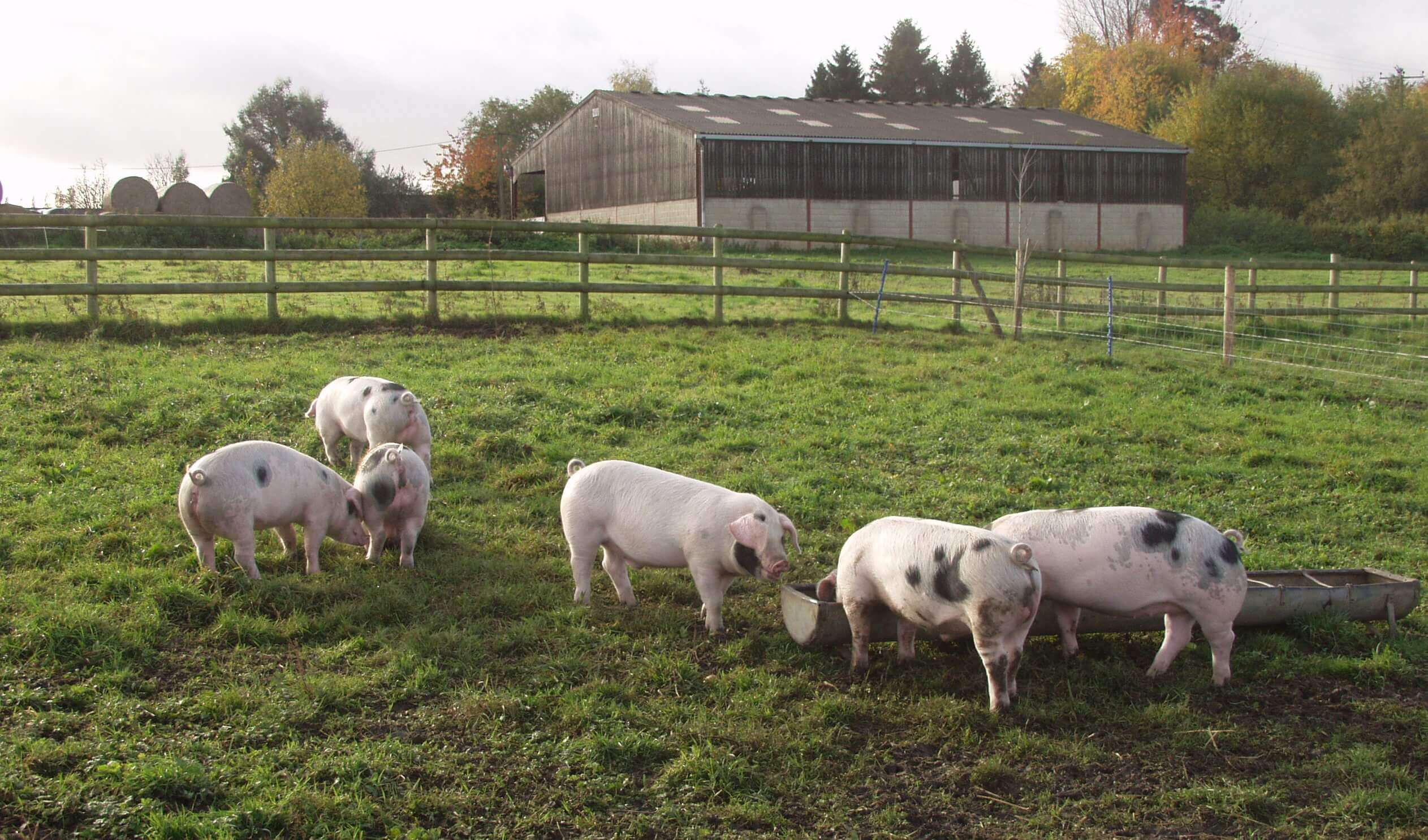 outdoor pigs in a field soon to be organic raw dog food