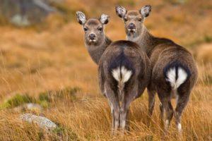 Wild deer of Ireland