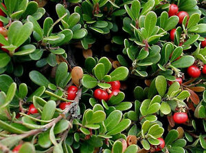 bearberry for kidney disease in dogs