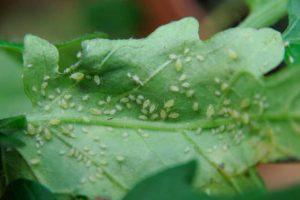 Diatomaceous earth kills aphids on plants