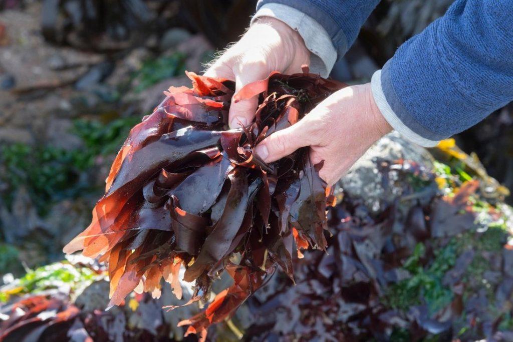 Dulse, red seaweed