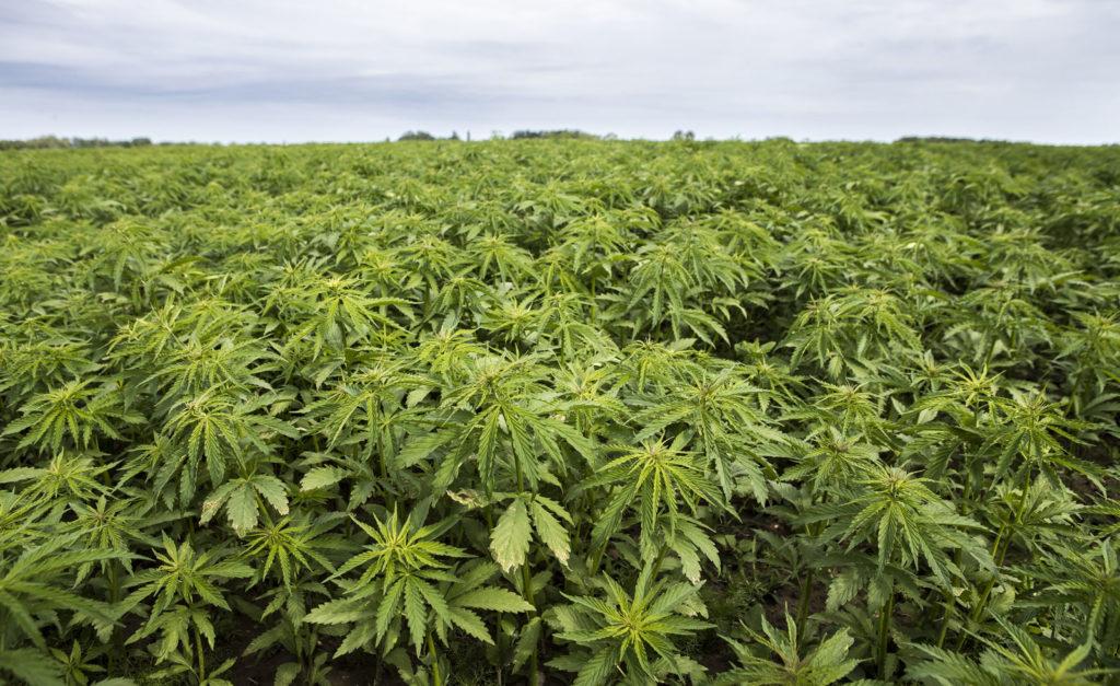 a field of hemp